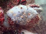 Black sea fauna blue sponge