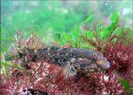 Black sea fauna goby