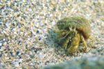 Black sea fauna hermit crab